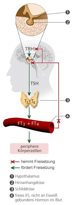 Was ist eine Schilddrüsenunterfunktion? » Schilddrüsenunterfunktion ...